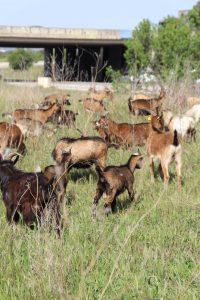Chèvres à Châteauneuf les Martigues